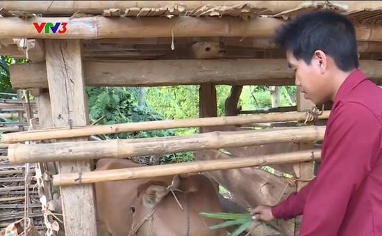Trao tặng bê giống cho hộ gia đình nông dân nghèo tại Sơn La