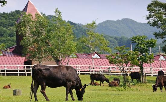 Nhật Bản đầu tư nuôi bò Kobe tại Quảng Bình