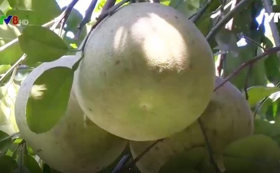 Thừa Thiên - Huế: Bưởi đỏ được mùa được giá