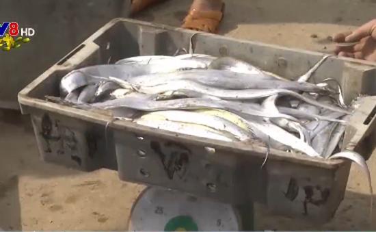 Nghệ An: Ngư dân Hoàng Mai trúng đậm cá hố đầu năm