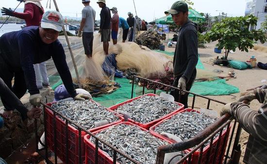 Ngư dân Quảng Ngãi được mùa cá cơm
