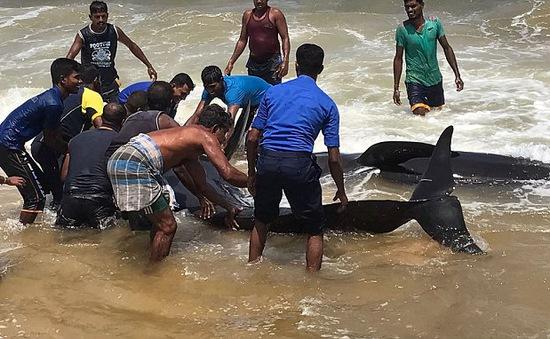 Sri Lanka giải cứu 20 con cá voi mắc kẹt