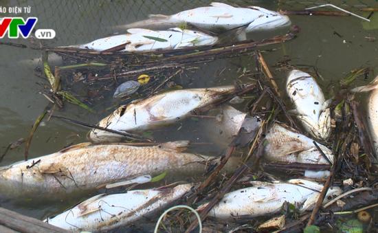 Thừa Thiên - Huế: Cá nuôi lồng chết hàng loạt trên Phá Tam Giang