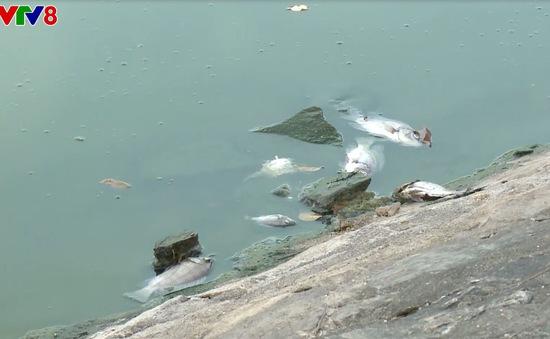 Cá chết hàng loạt nghi do ô nhiễm tại hồ điều hòa TP. Tam Kỳ, Quảng Nam