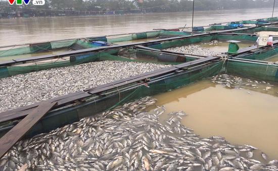 Cá lồng nuôi ở Thừa Thiên - Huế chết hàng loạt do nguồn nước bị thay đổi