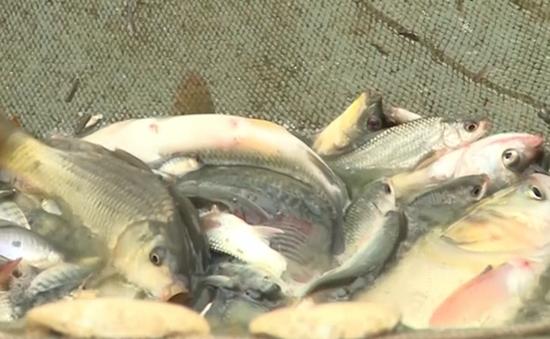 Tình trạng cá chết vẫn diễn ra sau vụ vỡ đập chứa bùn thải Nghệ An
