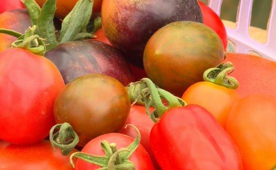 Đến Đà Lạt, thưởng thức cà chua đủ màu sắc, hình dáng độc lạ