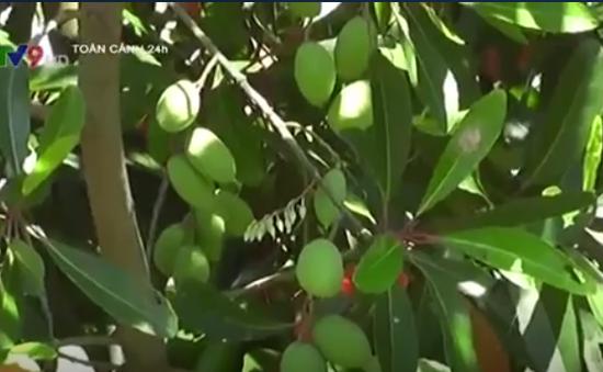 Trái cà na tạo thêm thu nhập cho nông dân An Giang