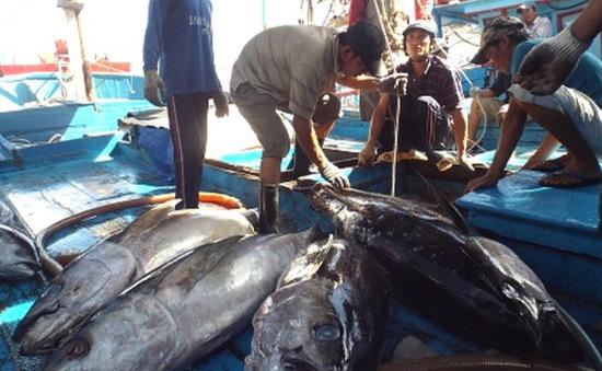 Bình Định: Ngư dân trúng mùa cá ngừ đại dương