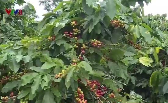Người trồng cà phê Quảng Trị được mùa, được giá