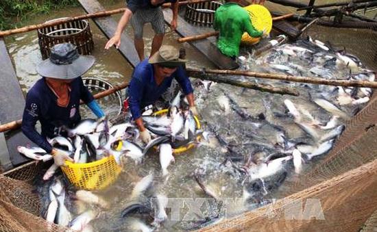 Cung không đủ cầu, giá cá tra tăng kỷ lục