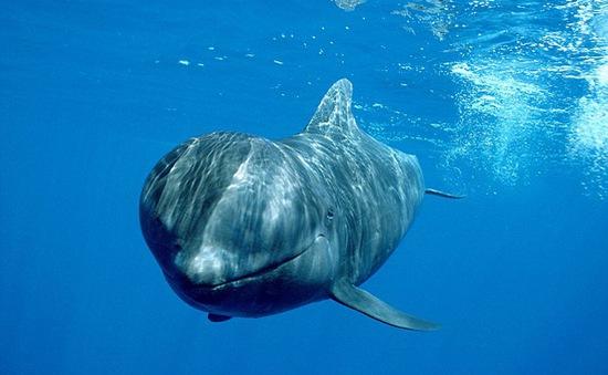 Kỳ vĩ màn lặn cùng cá voi hoa tiêu dưới lòng đại dương