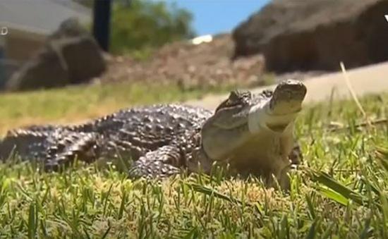 Chú cá sấu đi lại ngay giữa đường phố Melbourne, Australia
