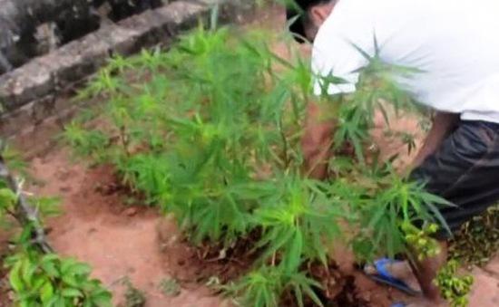 Vĩnh Long: Người đàn ông trồng hàng trăm cây cần sa trong vườn