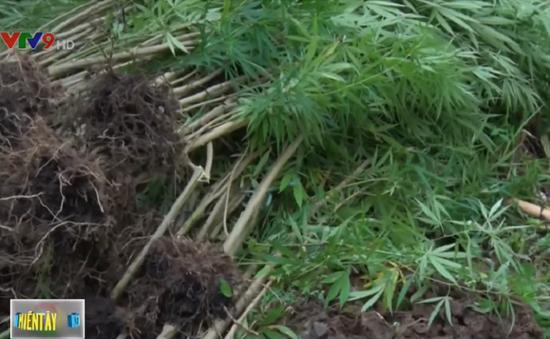 Vĩnh Long: Cơ quan chức năng bắt quả tang dân lén trồng cây cần sa