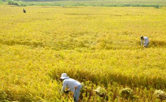 Những tín hiệu tích cực trong xây dựng cánh đồng mẫu lớn ở TH-Huế