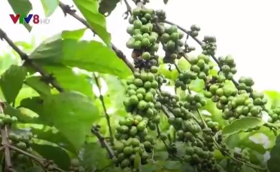 Giải pháp phát triển cà phê bền vững ở Đăk Lăk