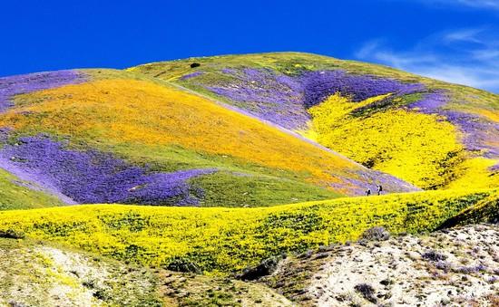 Đẹp như mơ những cánh đồng cỏ hoa ở California, Mỹ