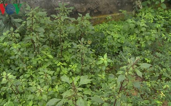 Công an phát hiện hơn 100 cây thuốc phiện được trồng trong vườn