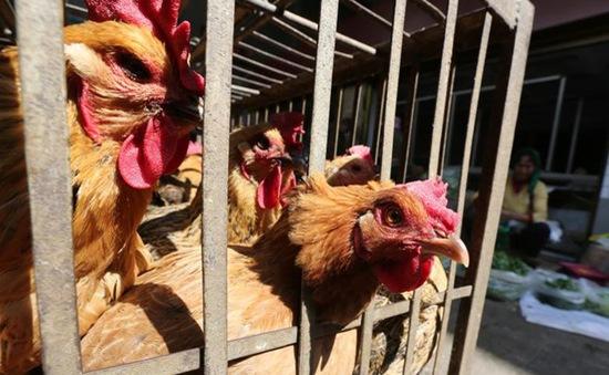 Philippines phát hiện virus cúm gia cầm H5N6
