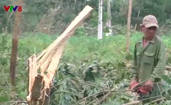 Phú Yên: Khoản nợ đè nặng ở vùng cao su tiểu điền sau bão
