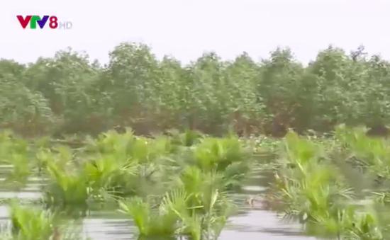 Rừng ngập mặn bảo vệ vùng nuôi thủy sản trong lũ lụt