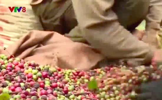 Đắk Lắk giảm diện tích cà phê trồng ngoài quy hoạch