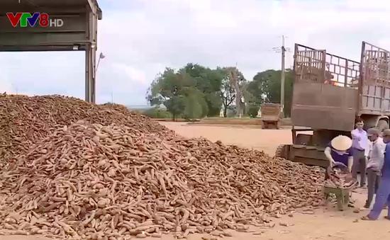 Kon Tum: Nông dân bán sắn bị trừ tạp chất cao