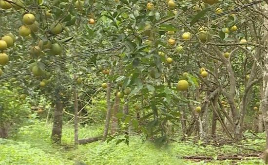 Hà Tĩnh: Du lịch trải nghiệm vườn cam hữu cơ
