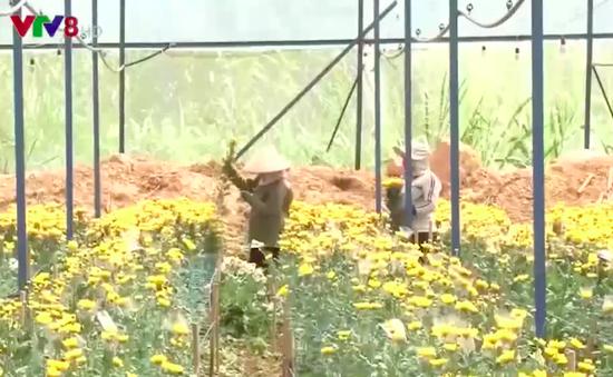 Các vùng trồng rau, hoa ở Lâm Đồng thiếu hụt lao động