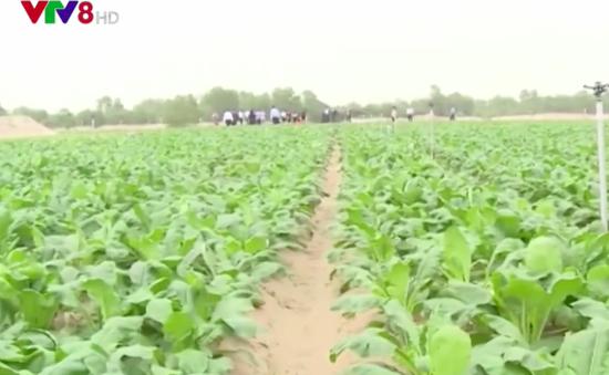 Hà Tĩnh: Dự án trồng rau trên vùng cát có nguy cơ phá sản