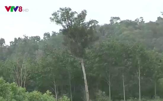 Quảng Nam: Chính quyền và dân bức xúc vì đất trồng cao su bỏ hoang