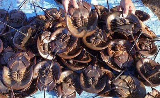Cách phân biệt sam biển với con so để tránh ngộ độc
