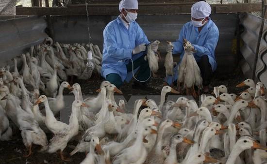 Bùng phát dịch cúm gia cầm H5N1 tại Đăk Nông