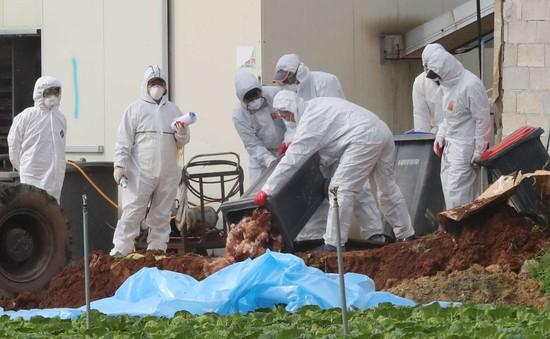 Dịch cúm gia cầm H5N6 bùng phát tại Hàn Quốc