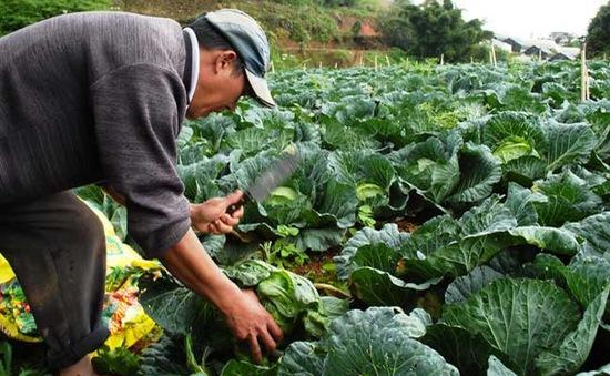 Rau Đà Lạt rớt giá thảm hại, nông dân lỗ nặng