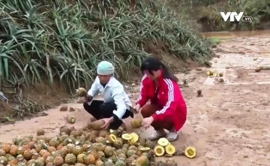 Công bố nguyên nhân khiến dứa thối, chết bất thường ở Lào Cai