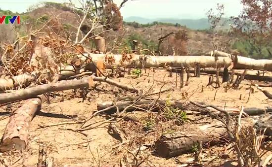Bình Định: Phát hiện gỗ giống loại gỗ bị chặt phá ở khu rừng xã An Hưng