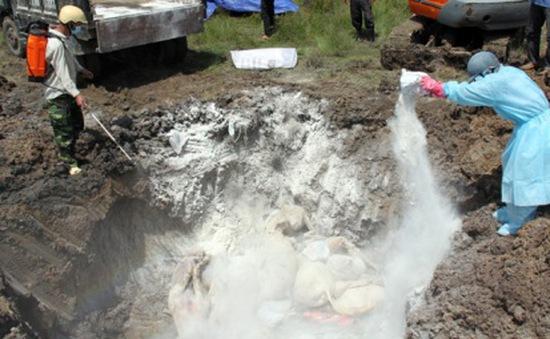 Vĩnh Long tiêu hủy hơn 3.000 con gà bị cúm gia cầm