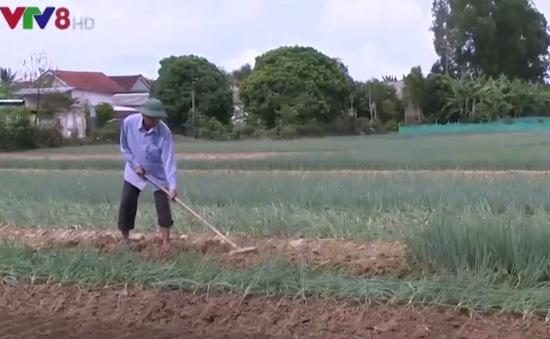Nông dân làm giàu từ mô hình trồng hành lá VietGAP