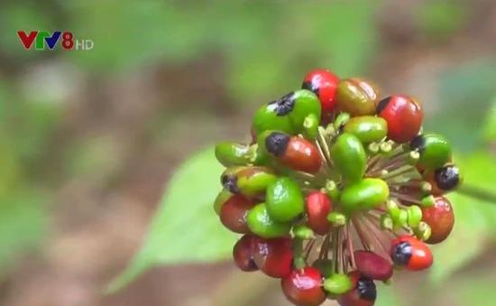 Trồng hơn 4.600 ha sâm Ngọc Linh dưới tán rừng Tu Mơ Rông