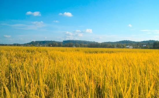 Cần Thơ xây dựng cánh đồng lúa sạch