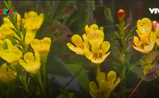 Những loài hoa độc, lạ đón Xuân