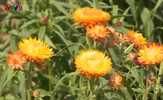 """""""Hoa bất tử"""" trên phố núi Đà Lạt"""