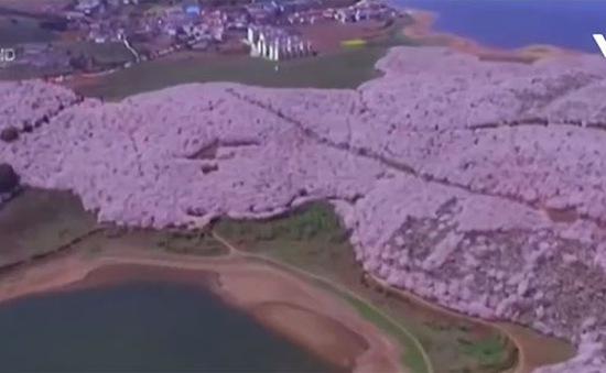 Rực rỡ hoa anh đào tỉnh Quý Châu, Trung Quốc