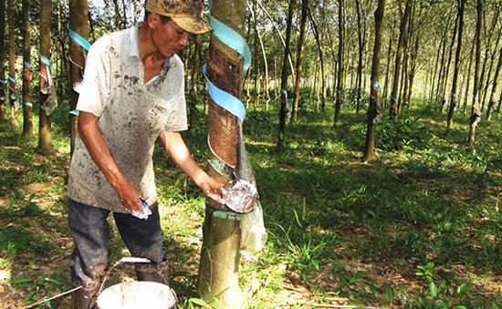 Lâm Đồng hạn chế phát triển diện tích cao su