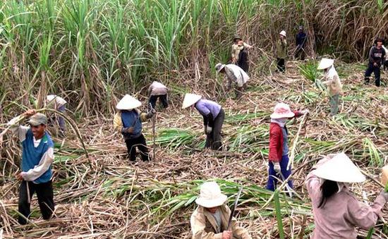 Thiếu trầm trọng nhân công thu hoạch mía tại Sóc Trăng