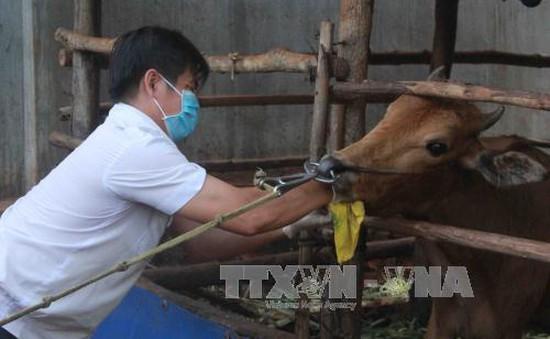 Đắk Lắk: Phát hiện thêm 2 ổ bệnh lở mồm long móng tại Buôn Ma Thuột