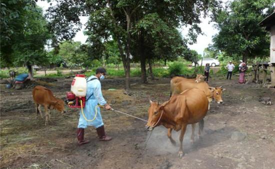 Hàng chục con bò từ Dự án hỗ trợ phát triển sản xuất bị lở mồm long móng