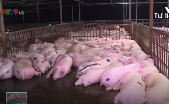 Đình chỉ 1 tổ trưởng, 2 tổ phó Thú y vụ tiêm thuốc an thần vào lợn